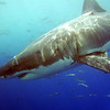 The Great Whites of Isla Guadalupe - Sept  2008 : The silence is broken only by the sound of my breath through the regulator and the intermittent metallic clanging of the cage I find myself in.  My bubbles rise steadily, rhythmically, calmly belying my nervous anticipation.  The cage rocks in the mild current and I am alone, surrounded by dozens of mackerel and other small baitfish, swirling, darting through the cage and chasing bits of chum that have floated down to envelope me.  I shoo them, like annoying flies.  The rays of the sun pierce deeply into the cerulean water as I slowly rotate, looking, waiting for a distinctive shape to appear, not knowing where it will come from, and not knowing how I will react when it finally does.  And then…the waiting is over. 